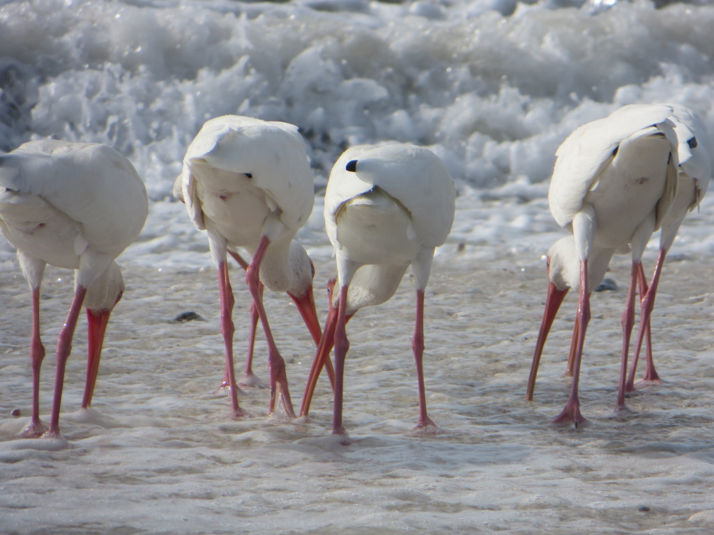 Ibis butts