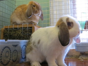 Rabbits: Content without a pension